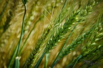 A stalk of wheat